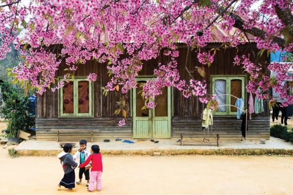 Top 4 cung đường ngắm hoa mai anh đào Đà Lạt đẹp nhất
